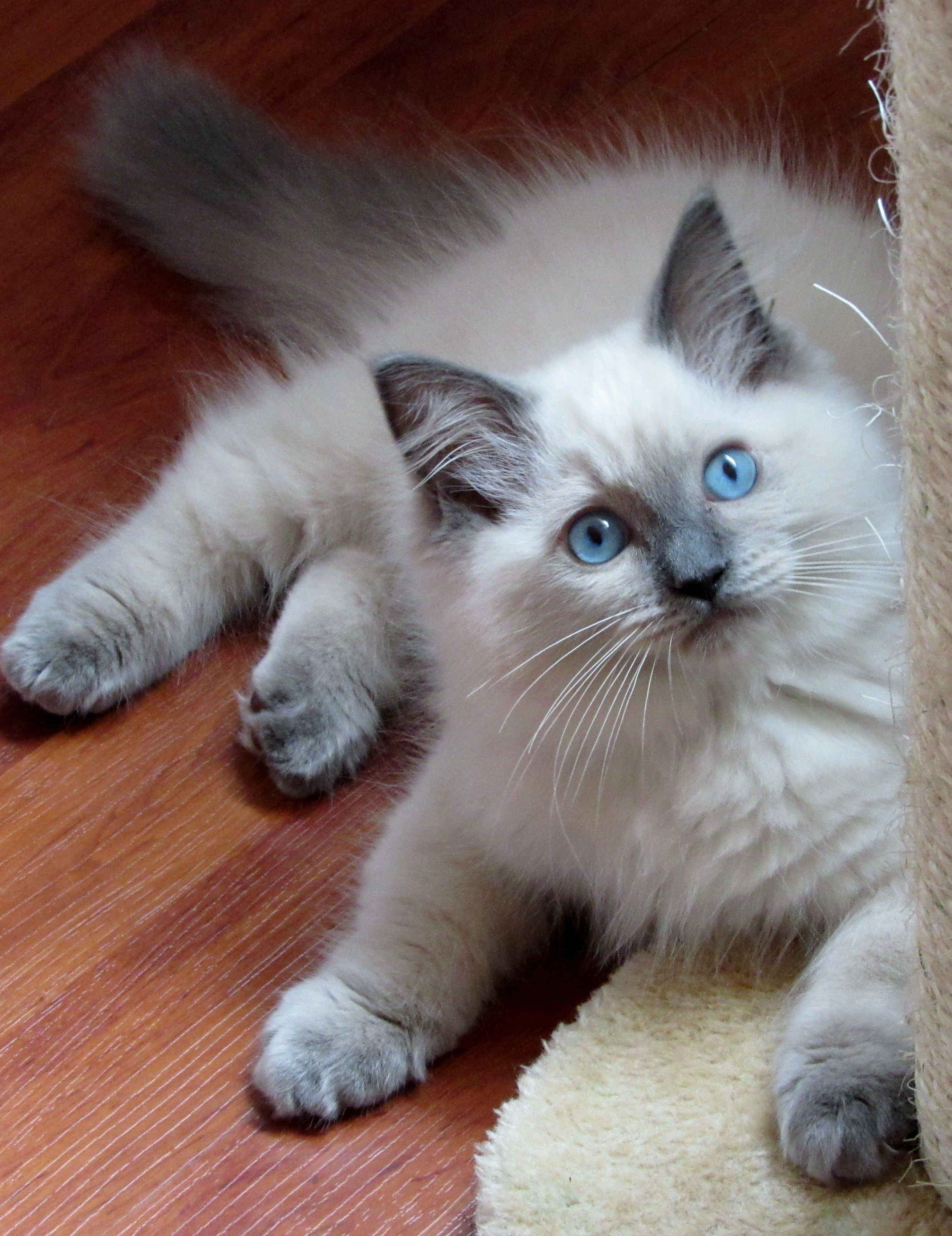 Ragdoll Blue Colourpoint Dollcatz Oliver Best Crystal Kitten Cute Animals Cute Cats And Kittens Pretty Cats
