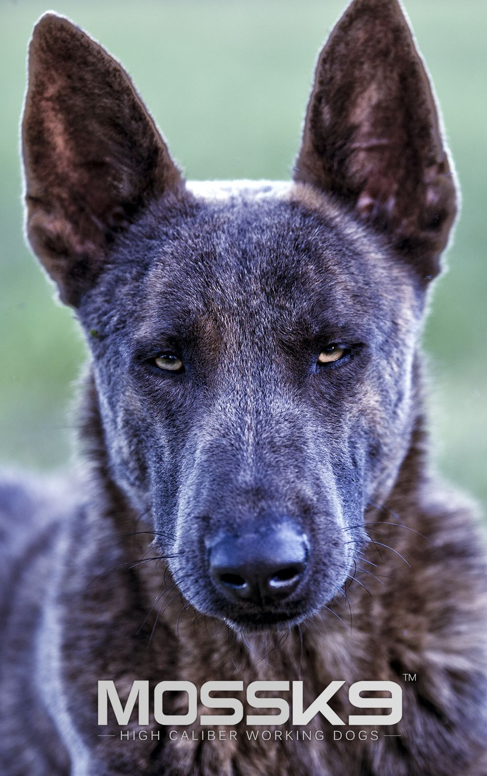 Blue Dutch Shepherd Moss K9 Blue Dutchshepherd Dutch Shepherd Dog Working Dogs Malinois Dog