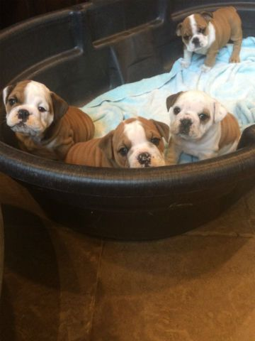 Akc English Bulldog Puppies 2200 In Harrisburg Oregon 97446