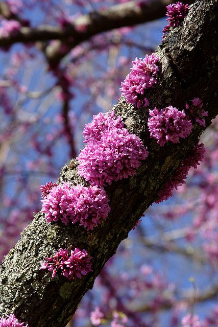 Pink moss flowers gardens and plants american redbud by frank peters via flickr mightylinksfo