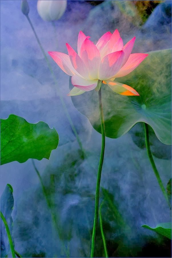 Tumblr flowers pinterest lotus flowers and flower tumblr mightylinksfo