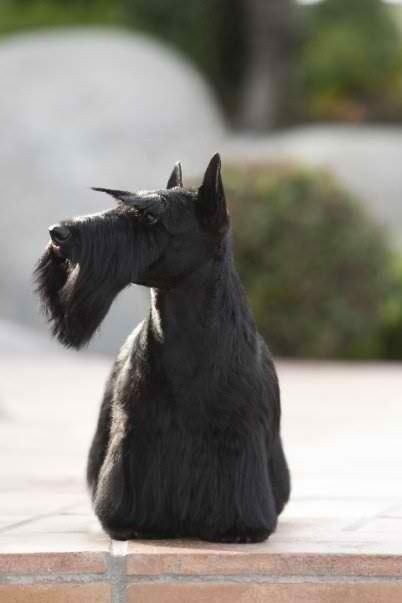 Scottish Terrier Dog Grooming Styles Dog Grooming Terrier Dogs