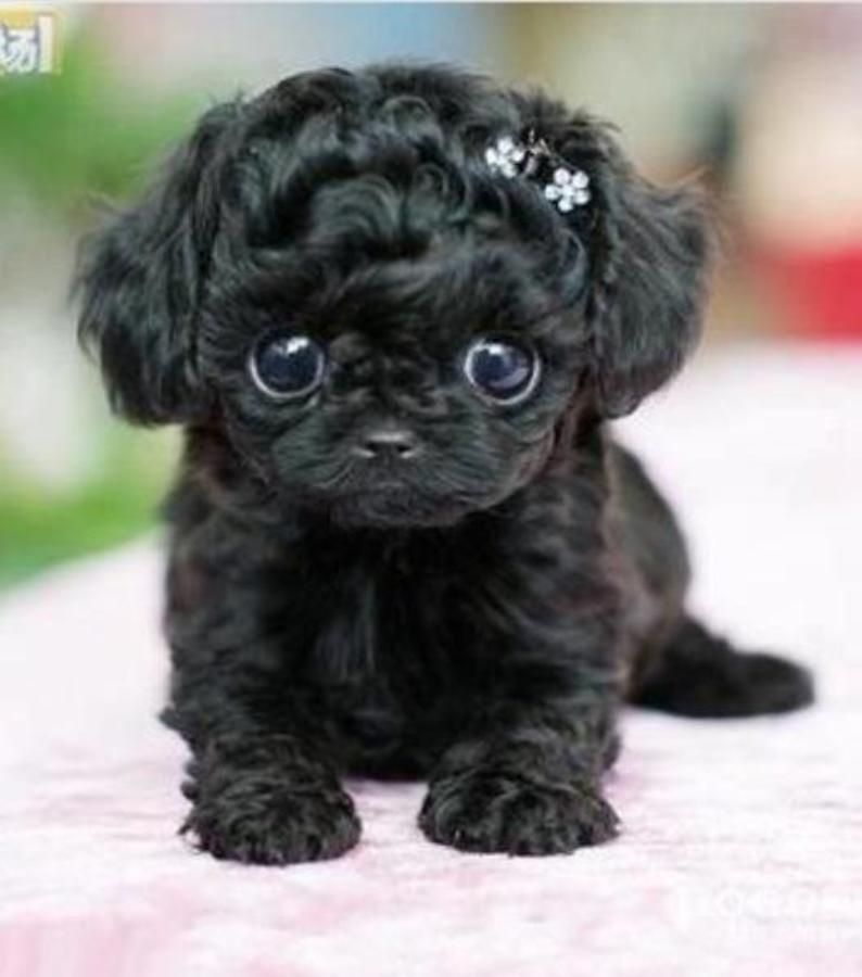 Black Maltese Mix Google Search I Like To Have One Like This