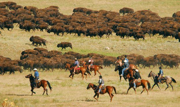 Buffalo Round Up Black Hills South Dakota