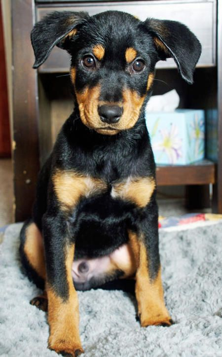 Robbie The Rottweiler Doberman Mix Rottweiler Mix Doberman
