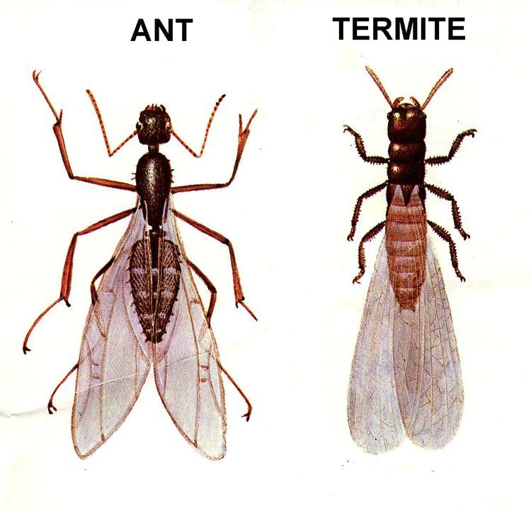 Curiosities About Flying Ants Flying ants, Termites