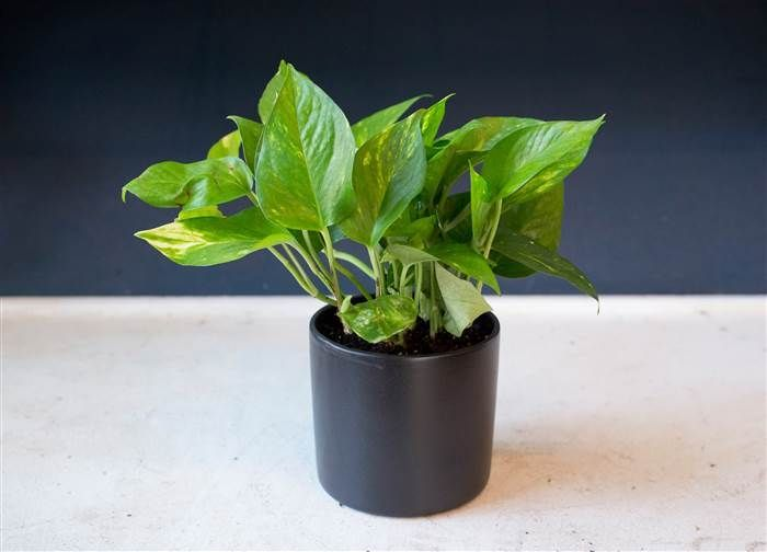 Low-maintenance plants: Pothos plant. Really is a low maintenance ...