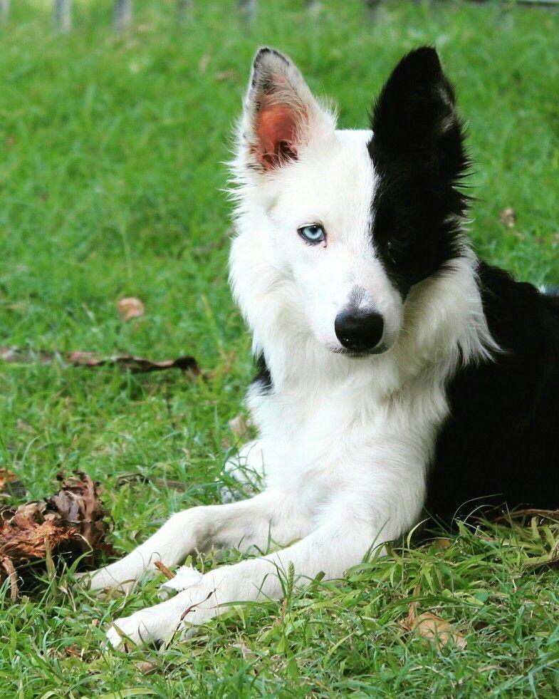 Yardley Pa Husky Border Collie Mix Meet Aqua Marie B A Dog For Adoption Border Collie Husky Mix Collie Mix Hybrid Dogs