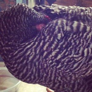 Bon Bon, my new hen, is sleeping in my bathroom for awhile ...