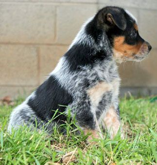 Queensland Heeler Puppy Dogs For Sale In Ventura County Southern Heeler Puppies Dogs For Sale Blue Heeler Puppies