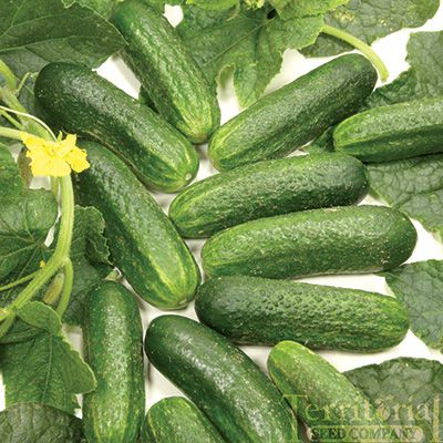 how to keep cucumbers fresh after picking