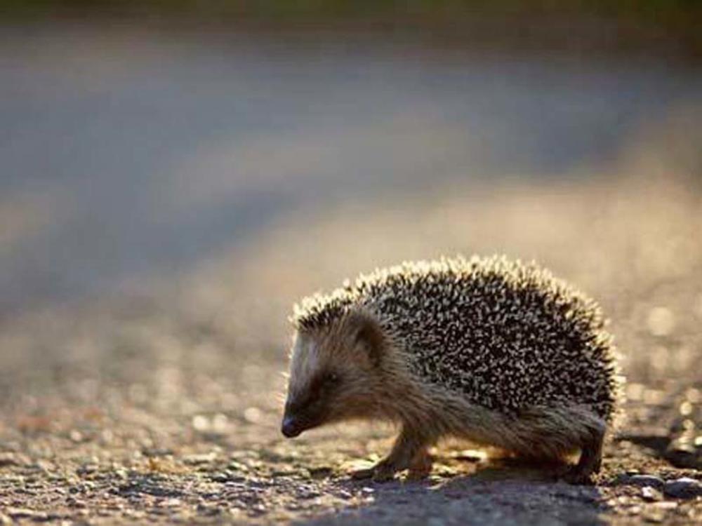 7 Tipps Fur Einen Igelfreundlichen Garten Susseste Haustiere Niedliche Tierbabys Igel