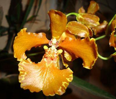 Oncidium forbesii   Oncidium Forbesii