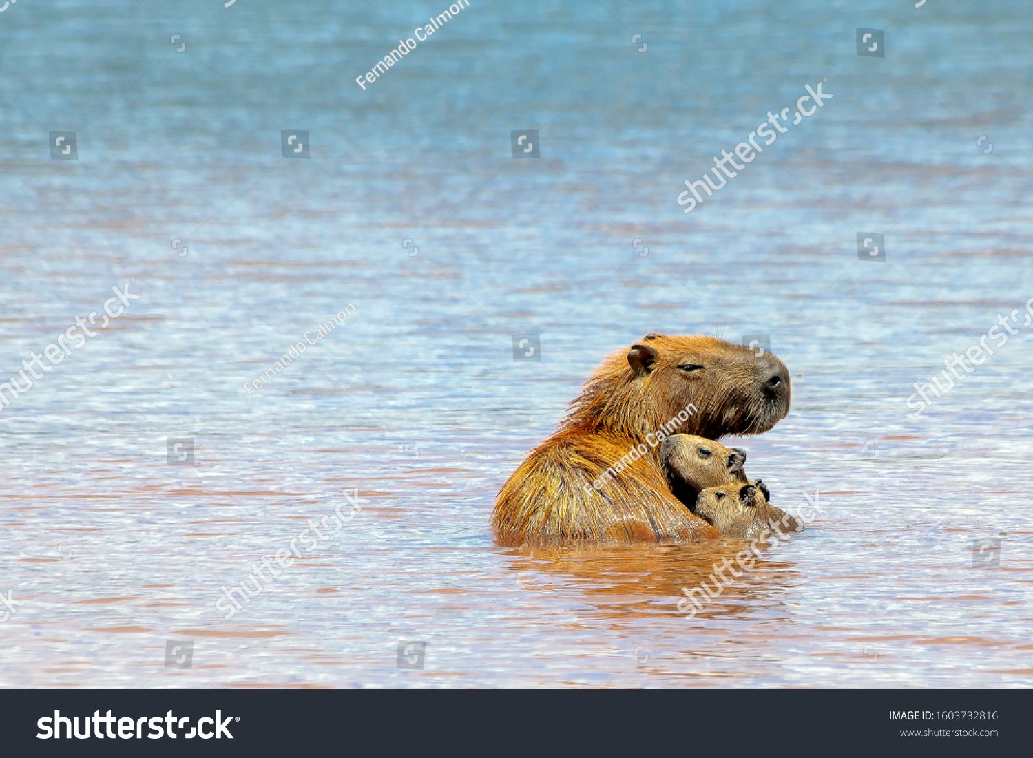 The mother capybara enjoying her children inside Parano¨¢ Lake in Brasilia, Brazil. The capybara is the largest rodent in the world. Species Hydrochoerus hydrochaeris. Wildlife. Cerrado. #Ad , #sponsored, #Lake#Parano#Brazil#Brasilia