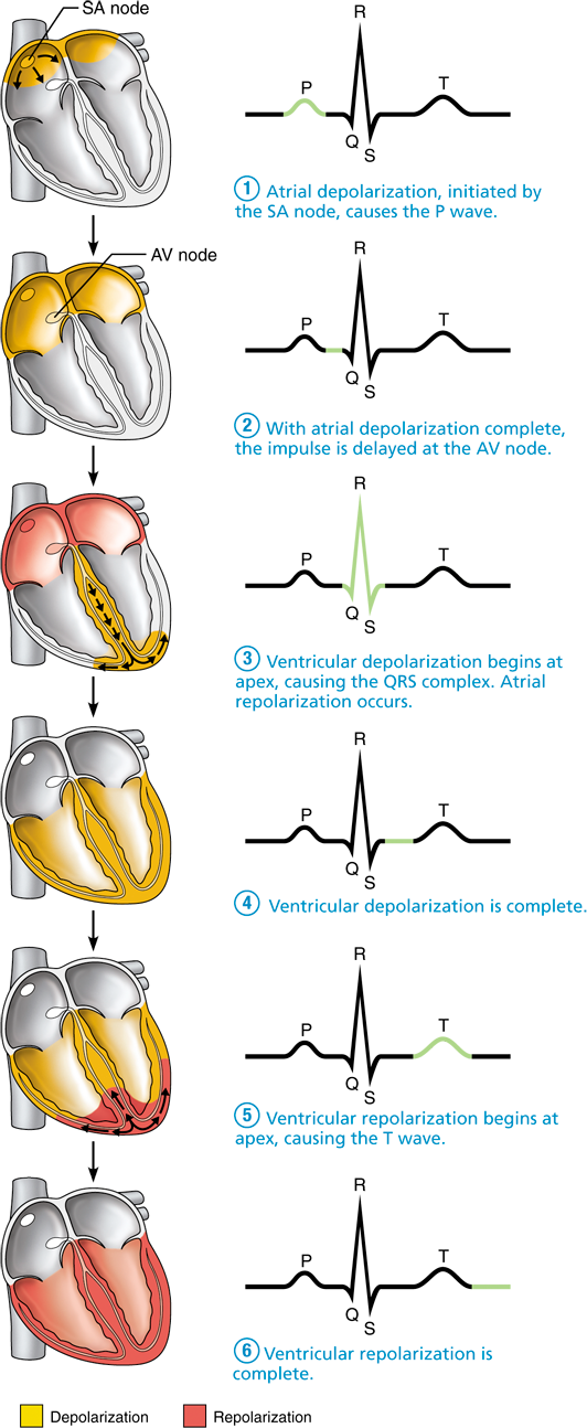 18.5 Pacemaker cells trigger action potentials throughout