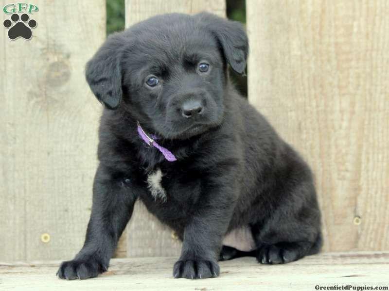 Reviews Testimonials Lab Mix Puppies Greenfield Puppies