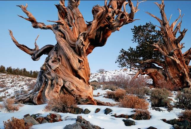 Methuselah, okakäpymänty (Pinus longaeva), Inyo National Forest, CA. Maailman vanhin puu (runko), yli 5000 vuotta vanha.