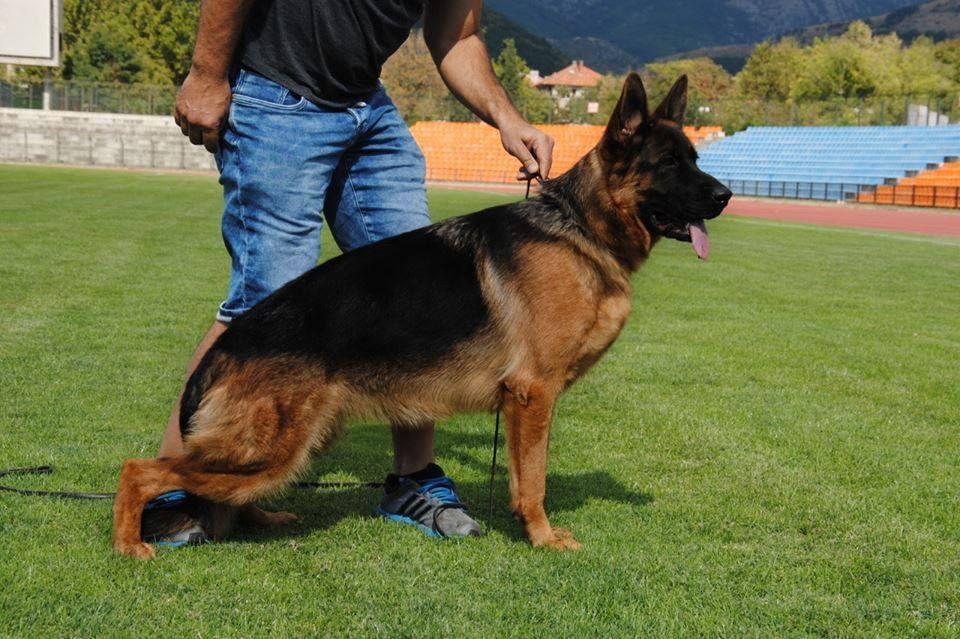 Pin by Ch RJR on German Shepherd In Pakistan | German