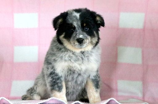 Australian Cattle Dog Samoyed Mix Puppy For Sale In Mount Joy Pa Adn 51602 On Puppyfinder Com Gender Female Samoyed Australian Cattle Dog Mix Samoyed Puppy