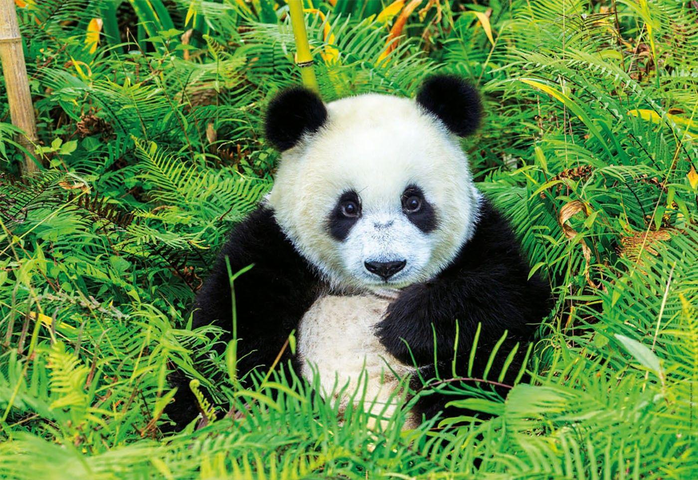 Pin Von Anna Kurscheid Auf Panda Baby Pandabar Panda Tiere