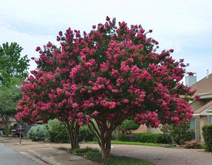 Centennial Spirit The Most Magnificent Texas Crape Myrtle Garden