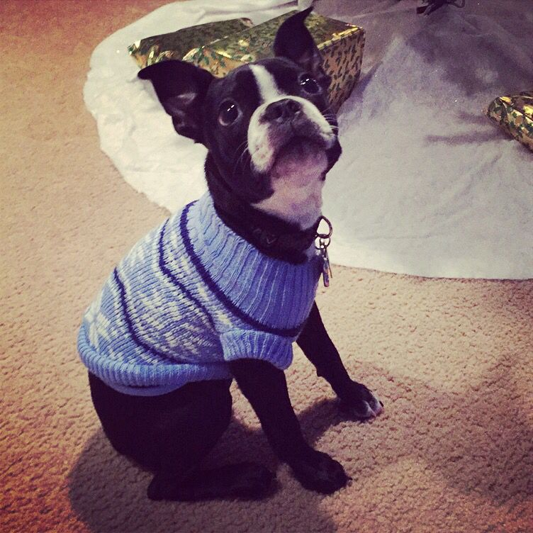 Austin the Boston Terrier in a Christmas sweater