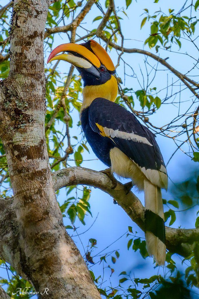 State Bird of Kerala Great Hornbill Buceros bicornis