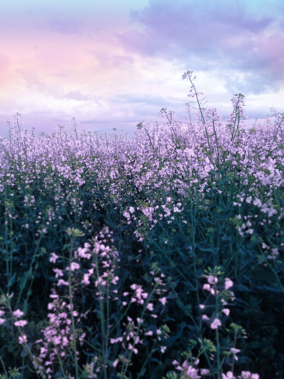 Drxgonfly Purple Flower Field By Musestouch Purple Flowers Wallpaper Flower Landscape Purple Flower Background