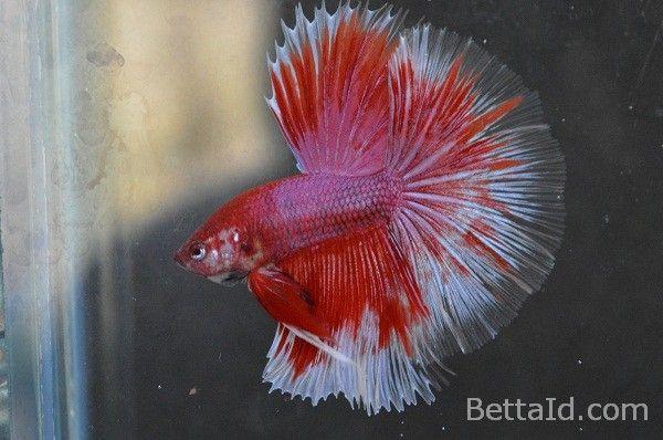 Ikan Cupang Halfmoon Red Lavender HM31 | Ikan cupang, Ikan ...