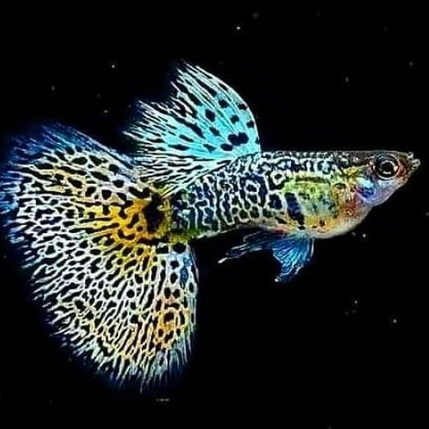 How To Take Care Of Guppies Petlover Fish Guppy In 2020 Guppy Guppy Fish Fish