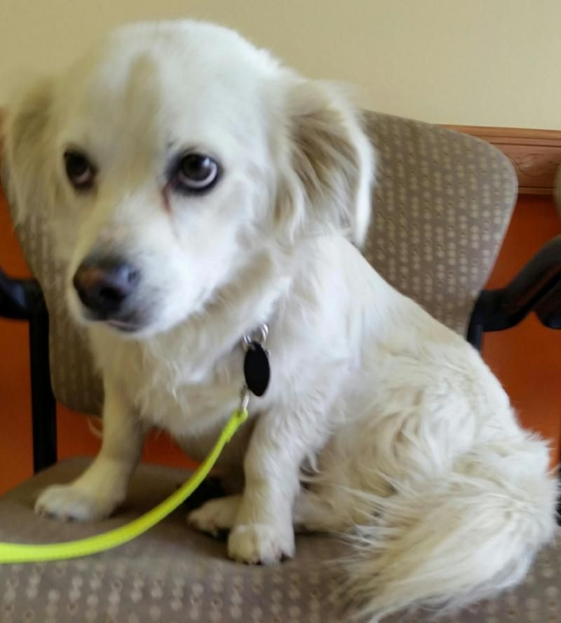Adopt Ajay On Petfinder American Eskimo Dog Mix American