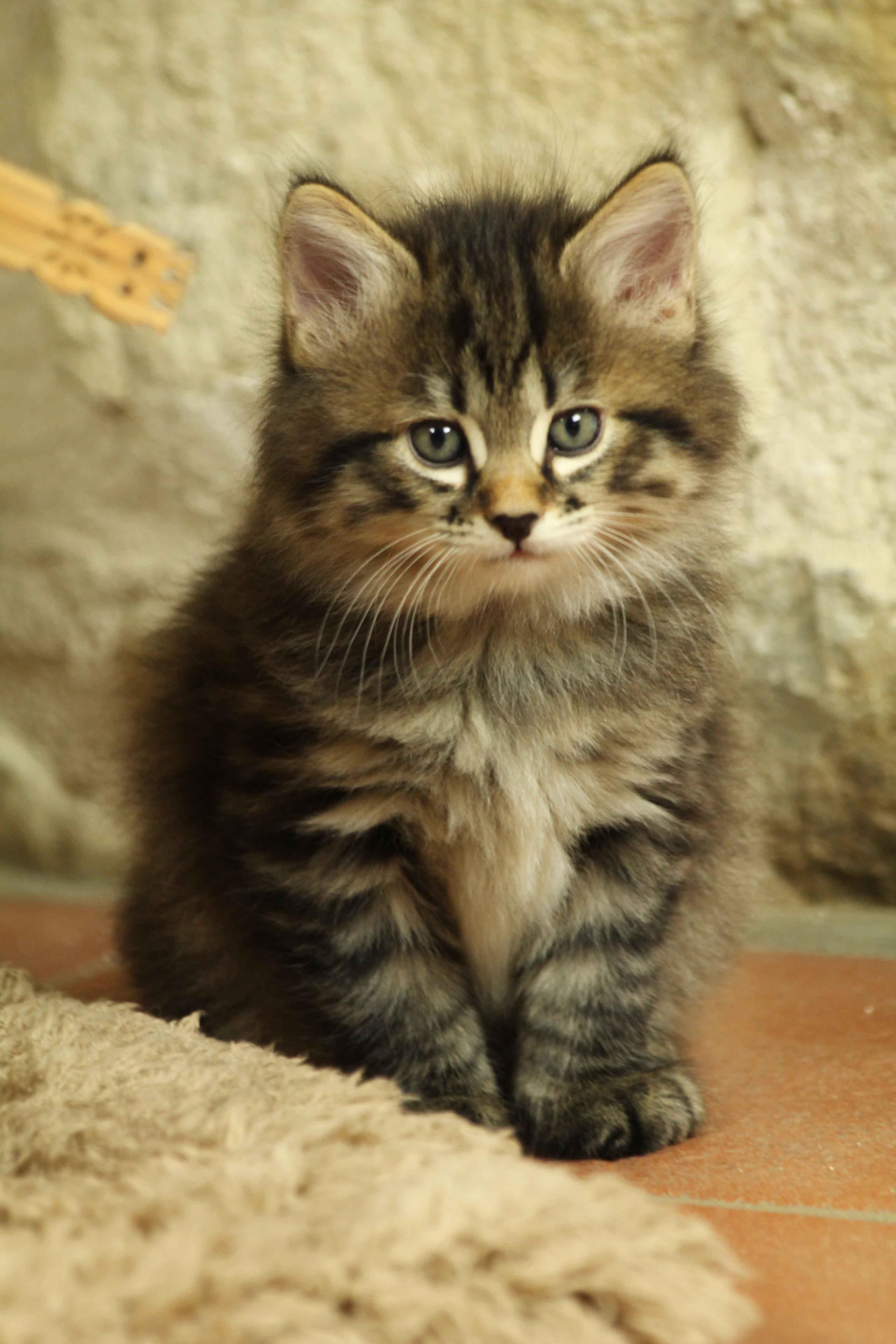 Pin On Cats And Kittens Kurilian Bobtail
