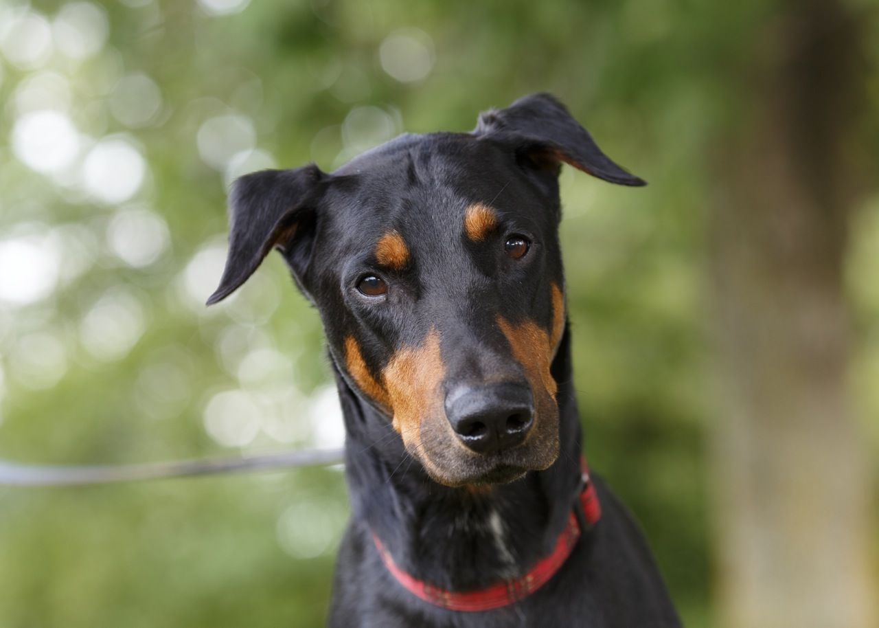 Yoshi Is A Handsome 5 Yr Old Doberman With Cropped Ears And Tail