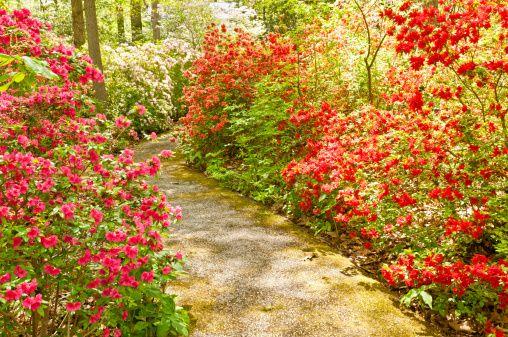 Blooming red azalea flowers in spring