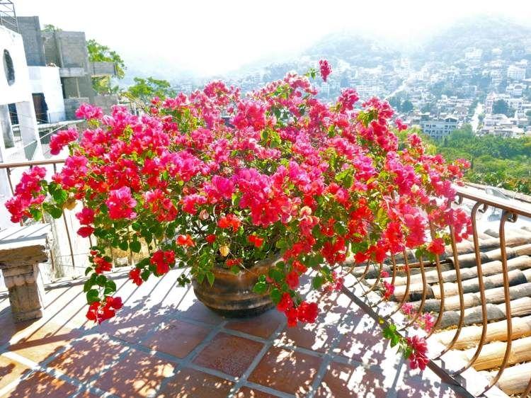arbuste m diterran en qui respire l exotisme bougainvillier jardinage pinterest. Black Bedroom Furniture Sets. Home Design Ideas