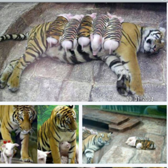 A tiger mother lost her cubs from premature labor. Shortly after she became depressed and her health declined, and she was diagnosed with depression. So they wrapped up piglets in tigers cloth, and gave them to the tiger. The tiger now loves these pig and treats them like her babies.