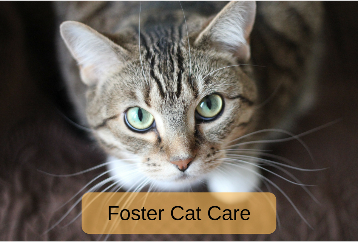 Foster Cat Care What You Need to Know Cat behavior