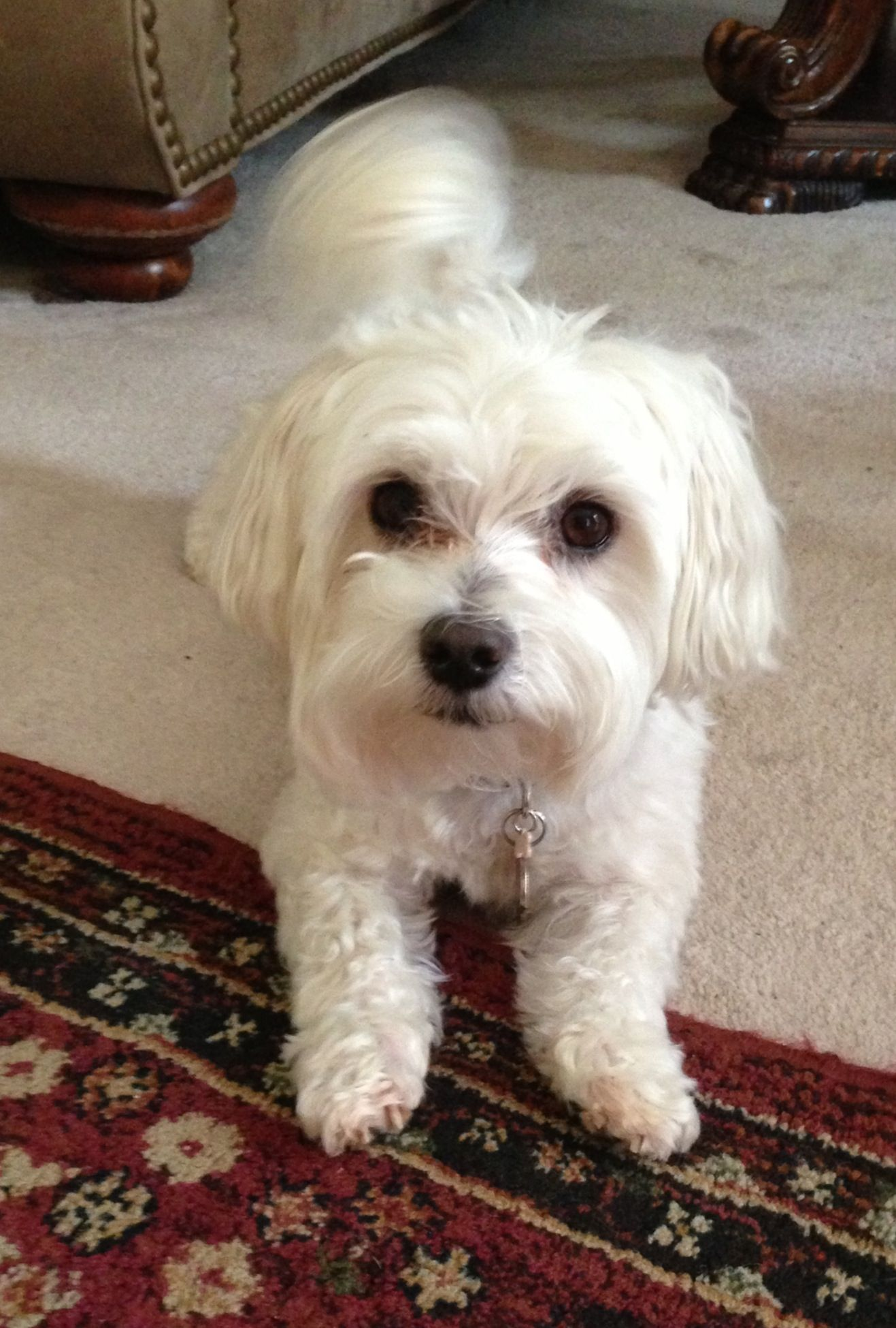 Charlie the maltese cute animals maltese dogs pets