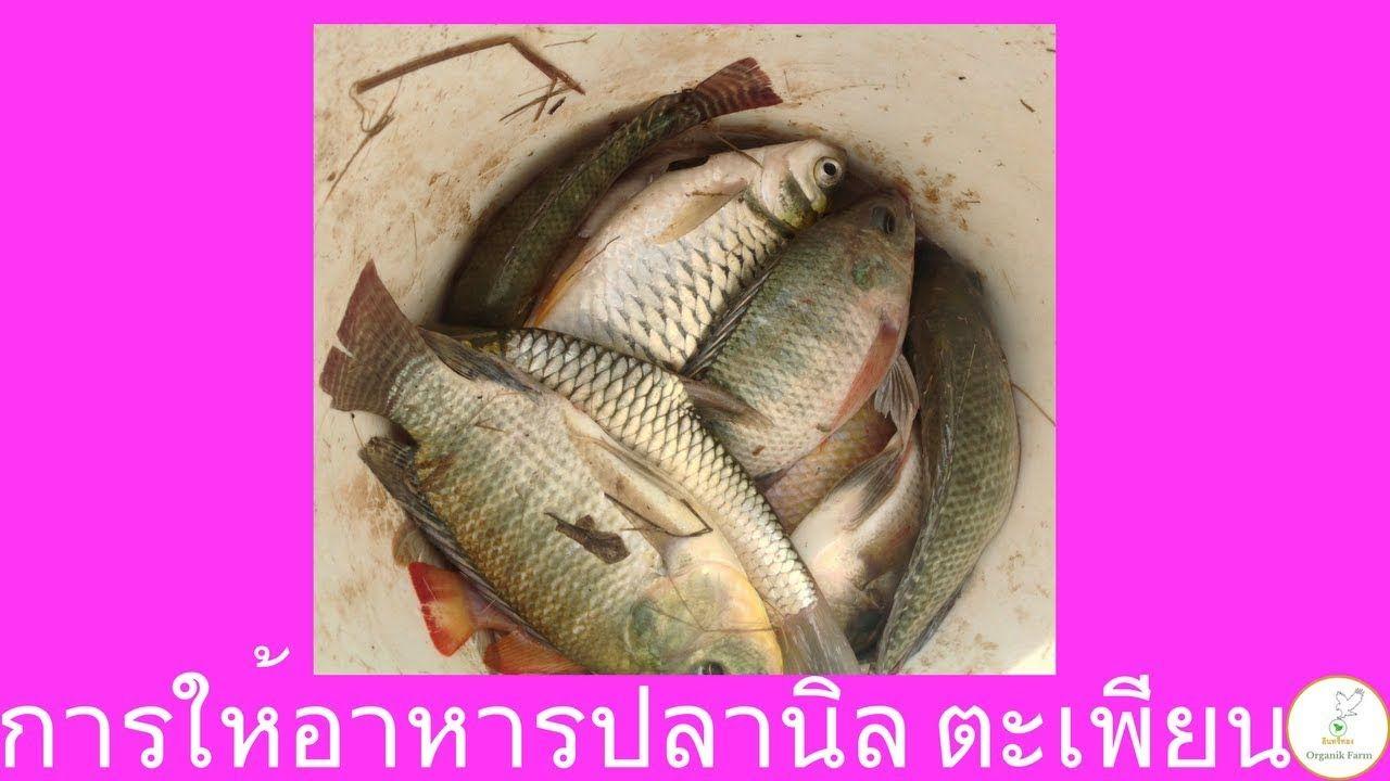 การให อาหารปลาน ล ปลาตะเพ ยน เป นต นกล าข าวอ อน