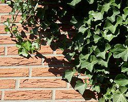 Efeu Entfernen Von Der Hauswand Hauswand Pflanzen Garten