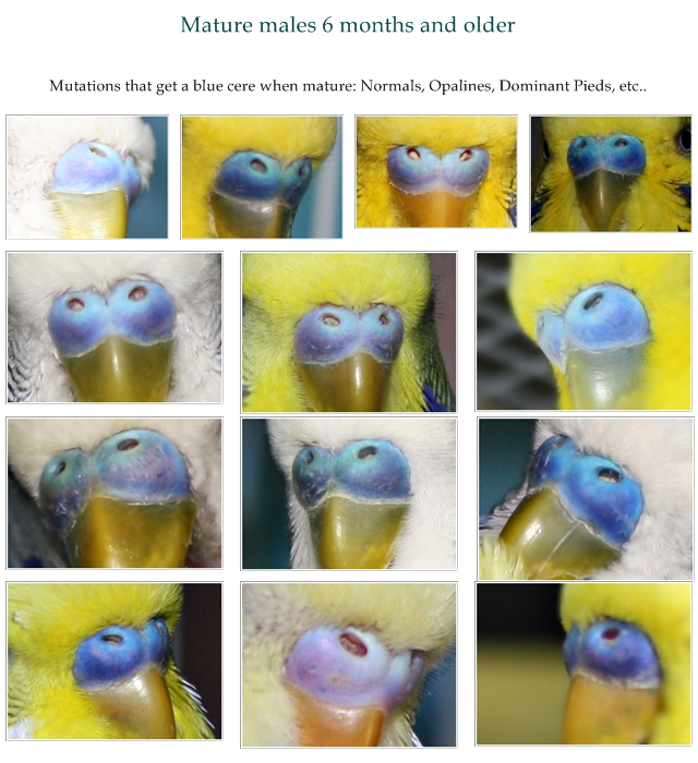 Howto tell sex of parkeets