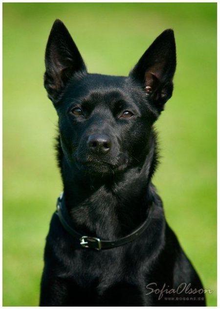 Australian Kelpie Black Dog Australian Dog Breeds Dog Breeds Aussie Dogs
