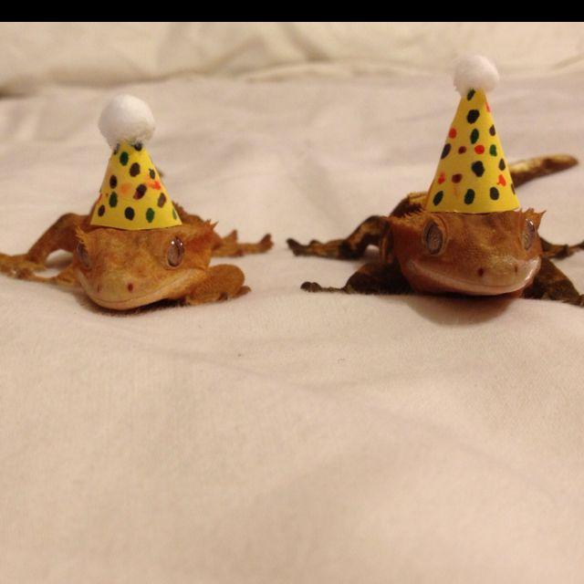 My friend's crested geckos celebrate their 1st birthday