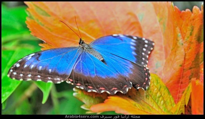 صور اجمل فراشات ملونة جديدة Vlinders