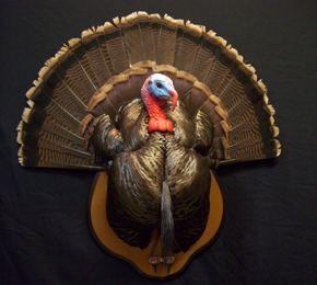 Turkey Taxidermy Mounts Huntthenorth Com Turkey