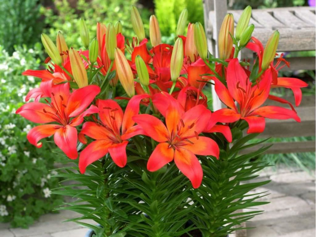 What is the difference between asiatic and oriental lilies lilies what is the difference between asiatic and oriental lilies beautiful flowers garden flowers nature izmirmasajfo