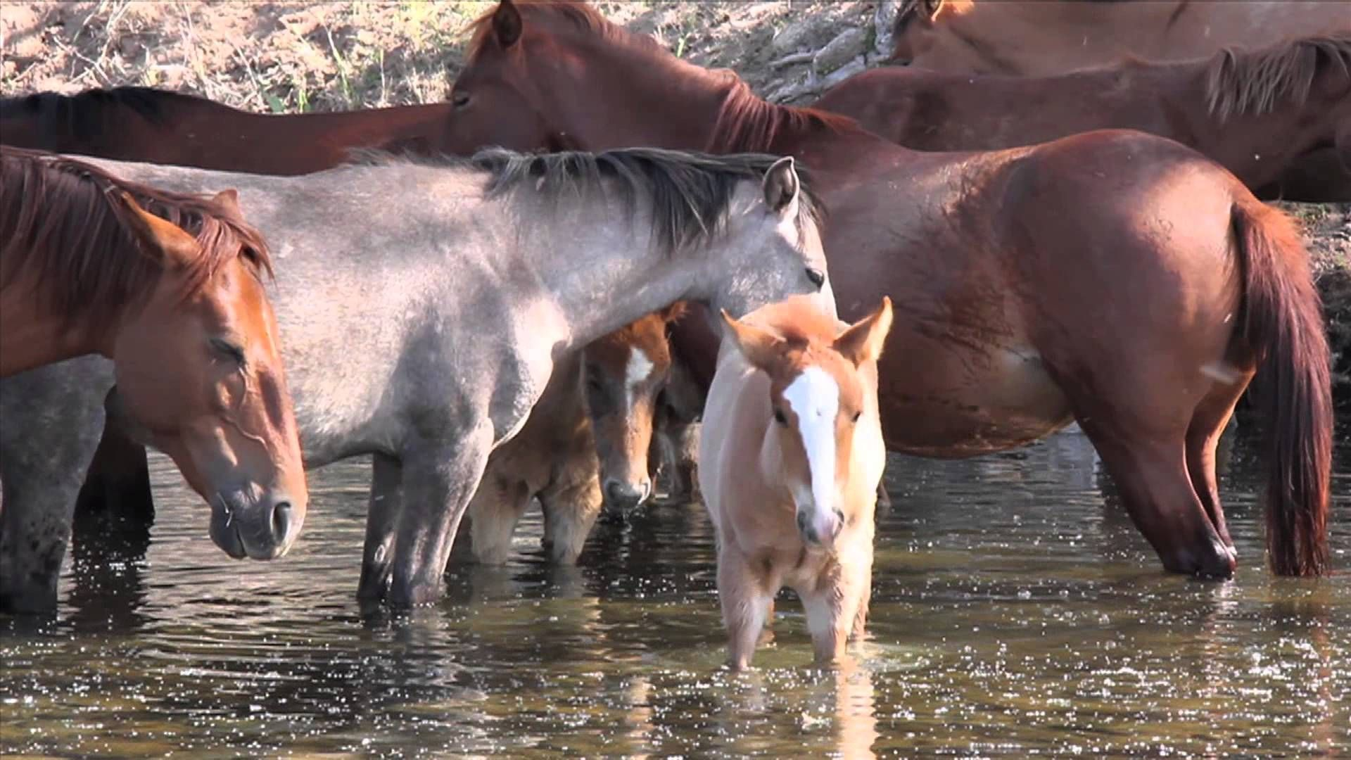 Trailer For America S Wild Horses The Documentary Horses Wild Horses Most Beautiful Animals