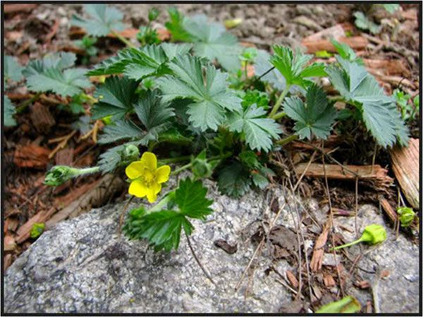 Weeds With Yellow Flowers | Cinquefoil - Weeds in the Lawn - Little ...