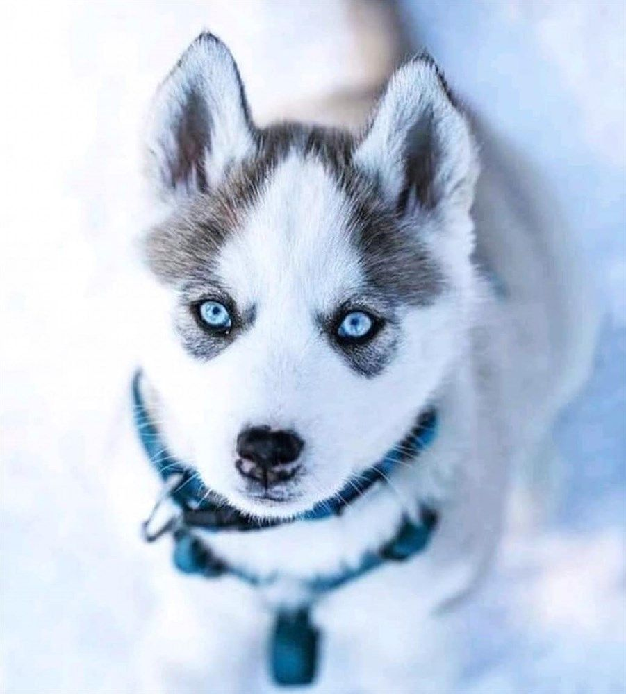 All Pet Foods Are Not The Very Same Cute Husky Puppies Cute