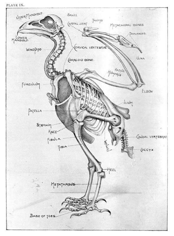 Eagle Bones Diagram Illustration Of Wiring Diagram